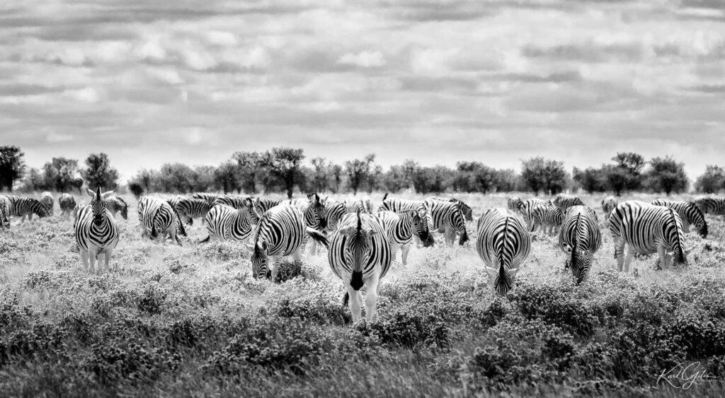 Fotografiereis naar Afrika, zebra's
