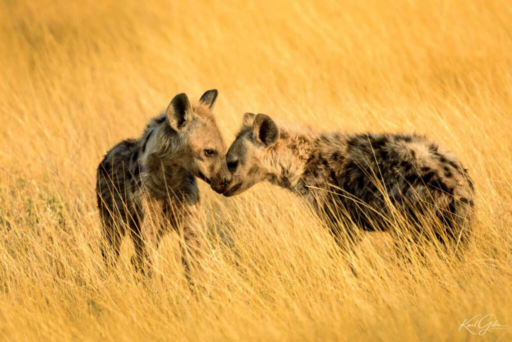 Fotografiereis voor beginners Afrika, jonge gevlekte hyena's