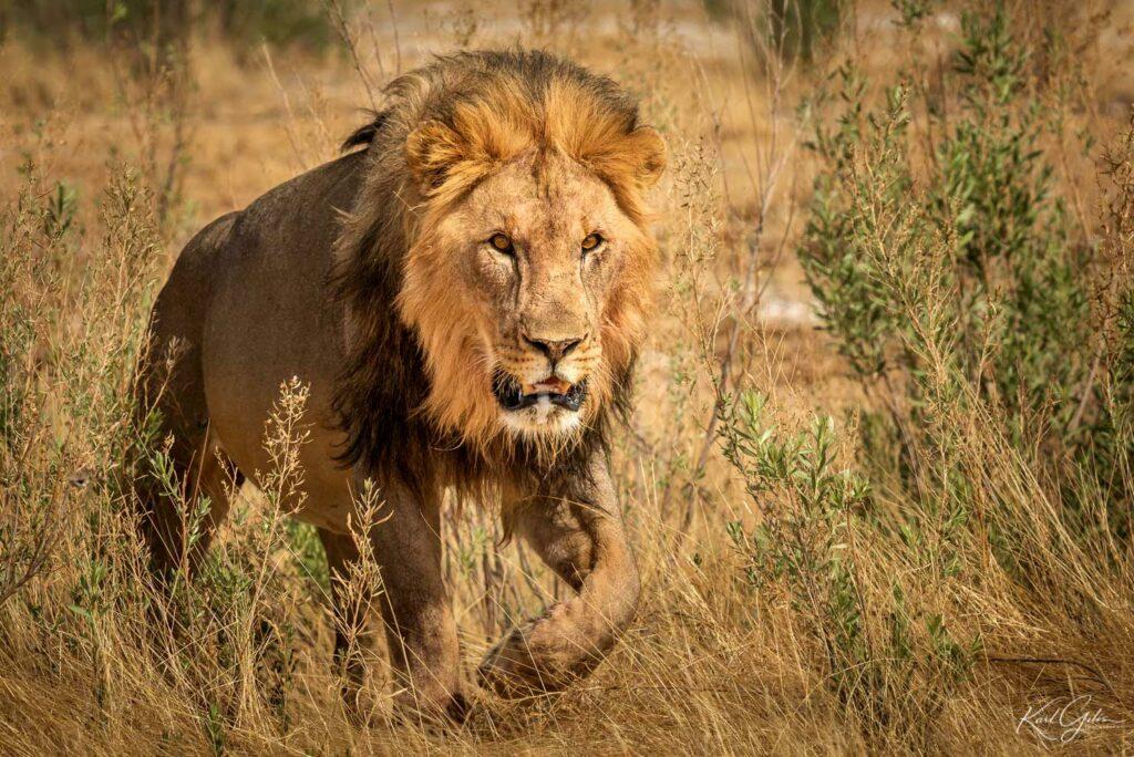 Fotoreis met focus op de big five, zoals de leeuw