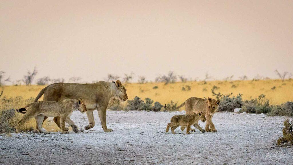 Fotoreis dieren in Afrika, familie leeuwen