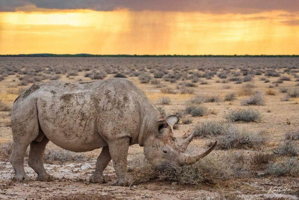 Fotoreis safari langs Etosha in Namibië, neushoorn