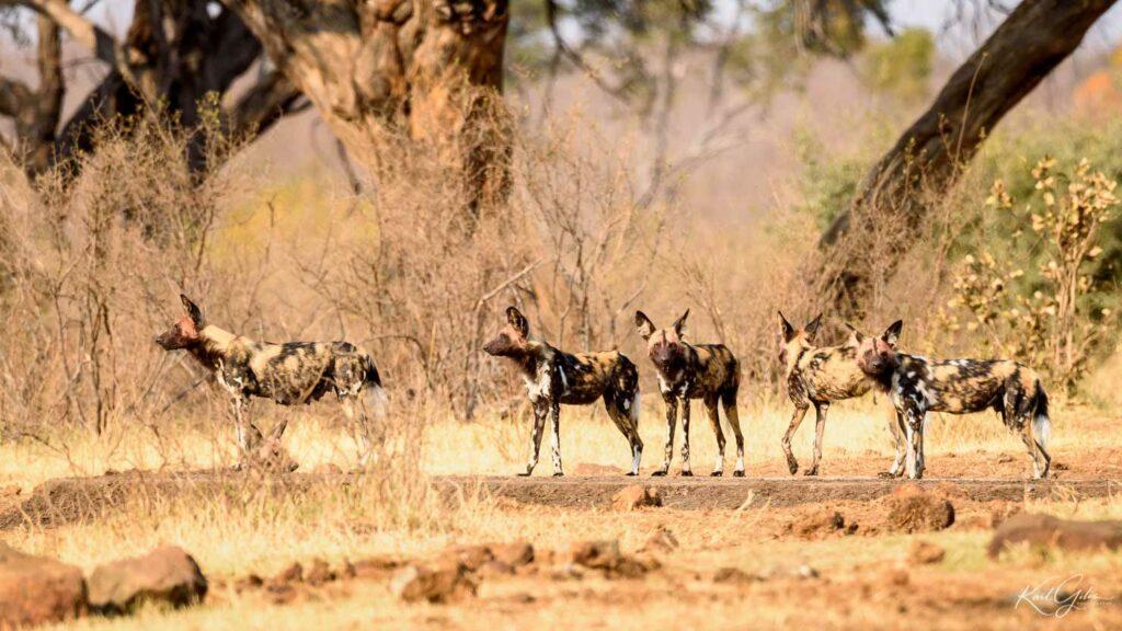 Fotoreis safari Namibië, wilde honden