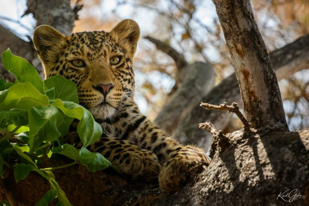 Fotoreizen naar Afrika, luipaard