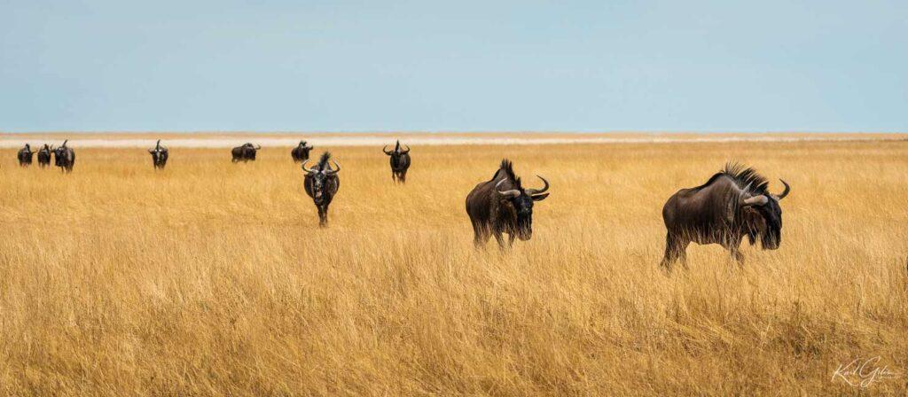 Fotoreizen naar Namibië, wildebeesten in Etosha